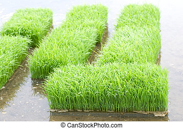 Rice sprouts - Before planting rice sprouts in the paddy...
