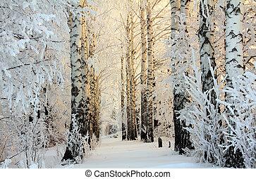 winter birch woods in morning light - winter frozen birch...