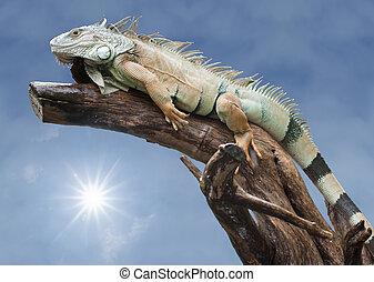 Desert iguana sleep on the wood with the sun