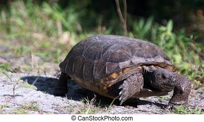 Gopher Tortoise Walking - Ground Level view of Gopher...