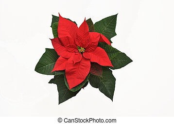 The Star of Bethlehem - Poinsettias- The Star of Bethlehem,...