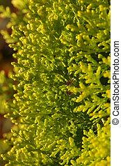 Pinus Leaf Close Up