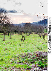 apple orchard in Alsace at evening - apple orchard on Vosges...