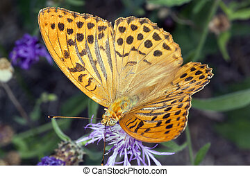 Butterfly Argynnis Paphia - Photo taken in a butterfly house...