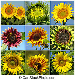 flowering sunflowers collage