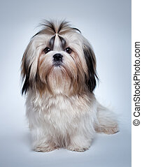 Shih tzu dog on grey background