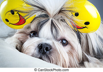 Shih tzu dog with smiles ears.