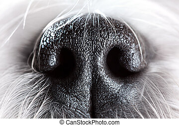Dog nose close-up - Shih tzu dog nose close-up