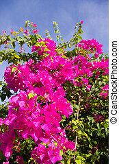 Bougainvillea flower bush - bush of blooming purple flower,...