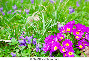 beautiful primulas flowers on green grass background