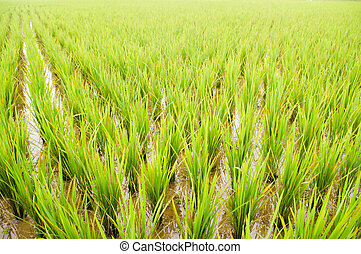 rice field, close up and wide angle view, for vertical...