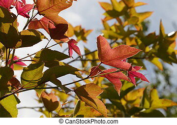 Red Yellow Orange Green Maple Leaves in the Start of Autumn Season