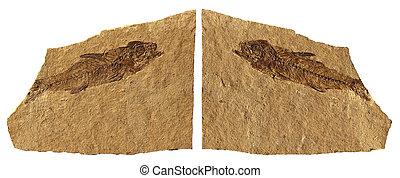 Fossil Fish - Limestone Fossil Fish of Bolca - Verona -...