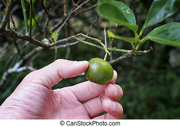 Citrofortunella microcarpa - Known as calamansi lime, this...