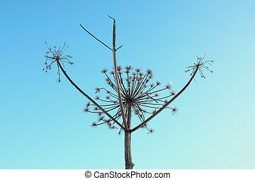 Dried plant in winter - Dry giant hogweed on a clear blue...