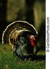 Male Turkey Strutting - a male wild turkey in full strut