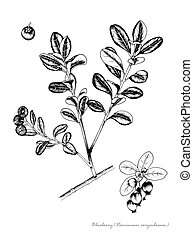 Blueberry Vaccinium corymbosum