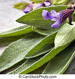 Sage - Flowering sage, fresh-picked.  Square crop.