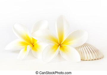 Frangipani and Seashell - Frangipani or plumeria flowers,...