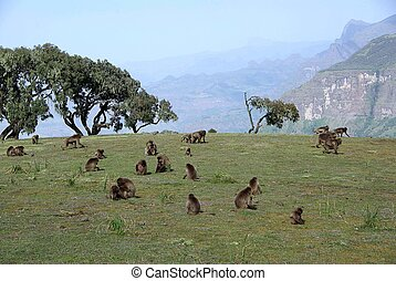 Baboons, Ethiopia - Gelada baboons in the Simien park in...