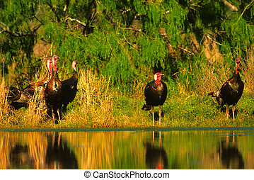 Wild Turkeys at Waterhole - a group of male wild turkeys at...