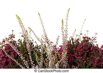 Heather with flowers isolated on white background