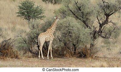 Giraffe and Acacia tree - Giraffes (Giraffa camelopardalis)...