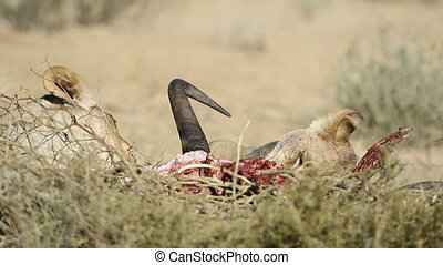 Feeding lions - African lions Panthera leo feeding on the...