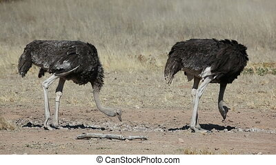 Ostriches - Male and female ostrich Struthio camelus,...