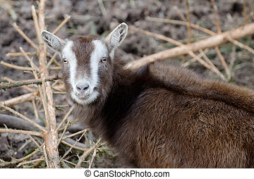 Billy goat - Portrait of a brown billy goat in the meadow