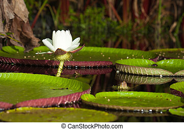Giant water lily Victoria amazonica - Giant water lily...