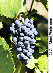 grape-vine - mature grape-vine waiting the harvesting in...