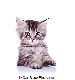adorable silver tabby cat - portrait of an adorable silver...