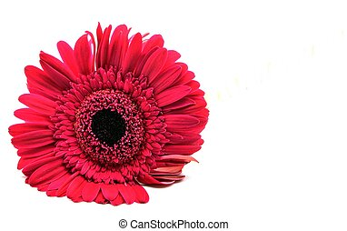 Red Flower bud surrounded by white background