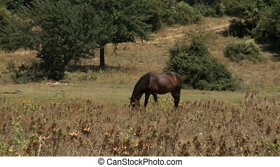 Italian horse eating in field