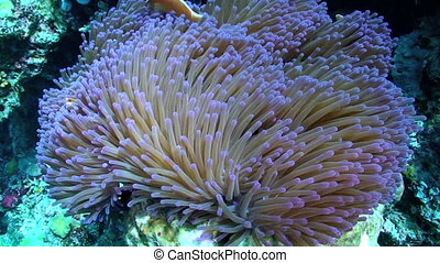 Pink Clown Fish and Sea Anemone - Pink skunk clownfish aka...