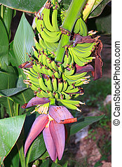 Banana flower and bunch on a plantation in Turkey