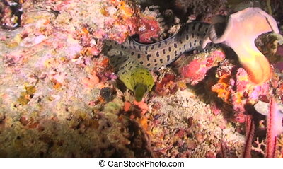 Moray Eel - Fimbriated Moray eel, Gymnothorax fimbritus,...