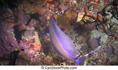 Parrotfish - Swimming through the coral reef, Parrotfish,...