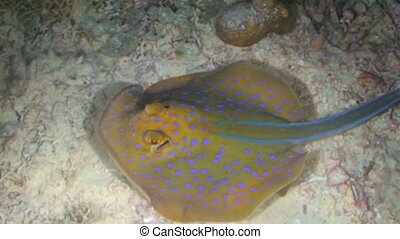 Blue spotted Ray - Blue-spotted Ray, Taeniura lymma, Papua...