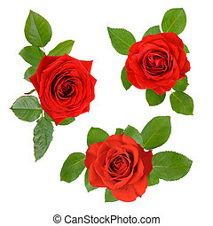 Set of three open red roses with leaves - Three studio...