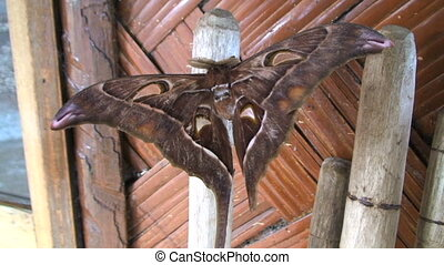 Hercules moth - The worlds largest moth, Hercules moth,...