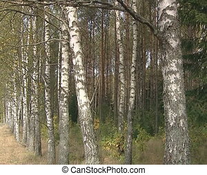 Birch Alley. Black and white striped tree trunks and branches.