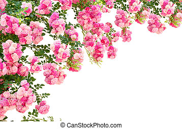 rose flowers isolated on white background - the photo of the...