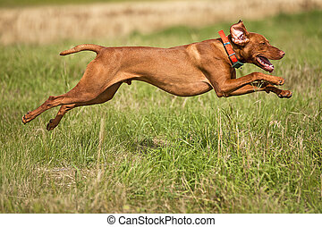 jumping hunting dog - pointing dog jumping outdoors