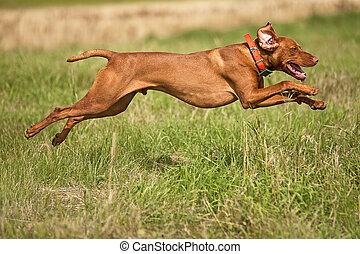 jumping hunting dog - pointing dog jumping outdoors
