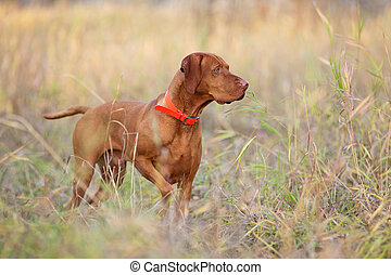 hunting dog pointing in field
