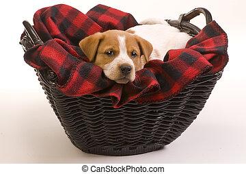Texas Red Heeler Pup. - Red heeler pup 9 weeks old.