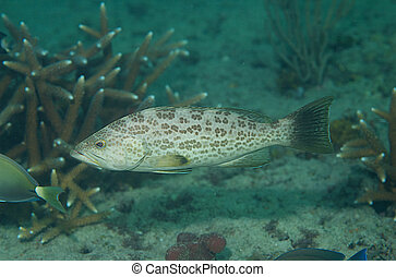 A small Scamp(Grouper) on a south Florida Reef.