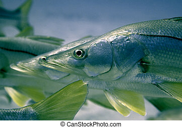 Snook Fish Florida Images And Stock Photos 11 Snook Fish